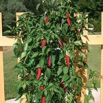 Jalapeno Pepper Vertical Garden