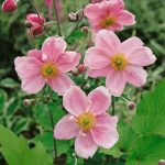 Queen Charlotte Anemone – 10 root divisions